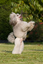 Beg dog - poodle Stock Image