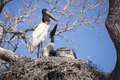 Begging behavior from juvenile jabiru stork chick an adult red white and black stands in the nest while one of two chicks exhibits Stock Photo