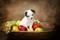 Begging puppy in fruit bowl Royalty Free Stock Image