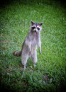 Begging Raccoon Royalty Free Stock Images