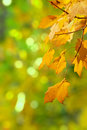Beginning of autumn closeup oak leaves changing color Royalty Free Stock Photos