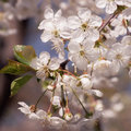 The beginning of spring blooming cherry buds