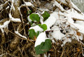 Beginning of winter, end of autumn, leaves under snow Royalty Free Stock Photo