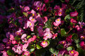 Begonia a bed of pink flowers Royalty Free Stock Image
