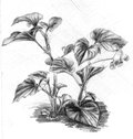 Begonia blooming room pencil drawing Stock Photos