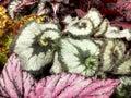 Begonia Escargot Royalty Free Stock Photo