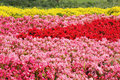 Begonia flower field Stock Image