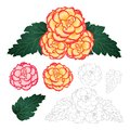 Begonia Flower, Picotee Sunburst and First Love with Outline isolated on White Background. Vector Illustration