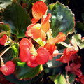 Begonia flowers Stock Photography