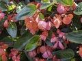 Begonia hybrida Dragon wing Royalty Free Stock Photo