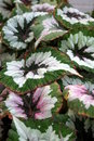 Begonia rex cultorum Royalty Free Stock Photography