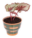 Begonia rex houseplant in earthenware pot isolated on white background Royalty Free Stock Photos