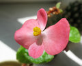 Begonia semperflorens Royalty Free Stock Image