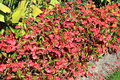 Begonia semperflorens a popular summer red bedding plant often used in flower borders Royalty Free Stock Photos