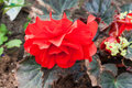 Begonias closeup Royalty Free Stock Image