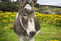 Beguiling irish donkey in green field with yellow flowers close up of the head of an a and a farm house the background horizontal Royalty Free Stock Photos