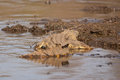 Behind the crocodile wild nile in south africa Stock Image