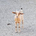 Beige goat standing Stock Photography