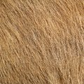 Beige pony textured hair detail on real animal Royalty Free Stock Image