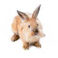 Beige rabbit, isolated Stock Image