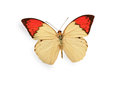 Beige and red butterfly isolated on white background Royalty Free Stock Photos