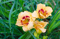 Beige and red daylily Royalty Free Stock Photo