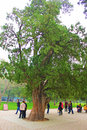 Beijing cypress the temple of heaven in trees in the park Royalty Free Stock Image