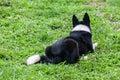 Beira collie german shepherd mix Imagens de Stock