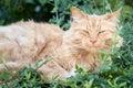 Bejaarde ginger tabby cat lying down among green bladeren Royalty-vrije Stock Foto's