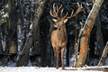 Single adult noble deer with big beautiful horns on snowy field on forest background. European wildlife landscape with snow and de