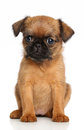 Belge Griffon puppy Royalty Free Stock Photo