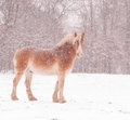 Belgian draft horse in a blizzard looking at the viewer Stock Image