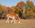 Belgian draft horse eating hay Royalty Free Stock Photos