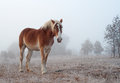 Belgian draft horse on a foggy winter morning Royalty Free Stock Photo