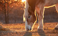 Belgian draft horse nibbling on hay against setting sun Stock Photos