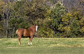 Belgian draft horse a stands in a grassy fall meadow Royalty Free Stock Photos
