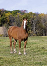 Belgian draft horse a stands in a grassy fall meadow Stock Photos