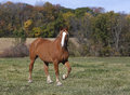 Belgian draft horse a walking through a fall pasture Stock Images