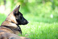 Belgian malinois Royalty Free Stock Photo