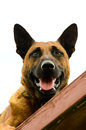 Belgian malinois portrait laying on the high beam on an agility course Stock Images