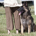 Belgian Shepherd Royalty Free Stock Images