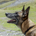 Belgian shepherd dog or malinois the ˈmælɨnwɑː is a breed of sometimes classified as a variety of the Stock Photography