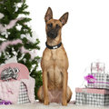 Belgian Shepherd Dog, Malinois, 1 year old Stock Photo