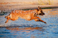 Belgian shepherd dog in the water breed Royalty Free Stock Images