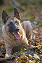 Belgian shepherd laying and watching in forrest Royalty Free Stock Image
