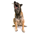 Belgian shepherd malinois Royalty Free Stock Photo