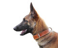 Belgian shepherd malinois isolated Royalty Free Stock Image