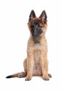 Belgian Shepherd (Tervuren) puppy Royalty Free Stock Photography
