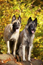 Belgian shepherds Royalty Free Stock Photo