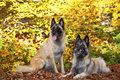 Belgian shepherds Stock Images